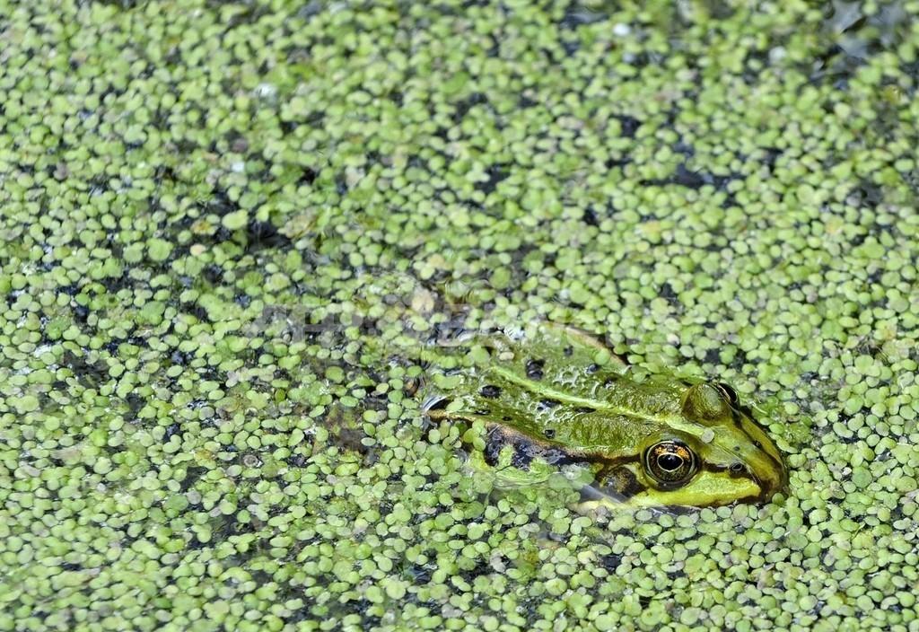 世界的なカエルの減少、除草剤と化学肥料が要因 米大学研究