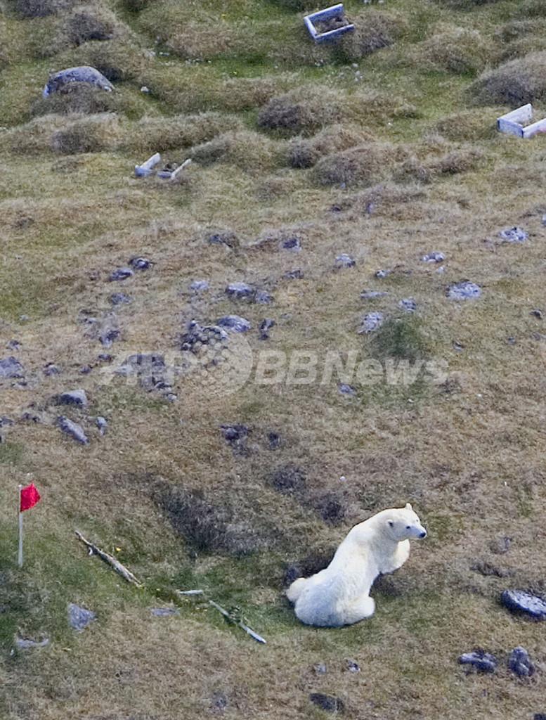 アイスランドで発見されたシロクマ、2頭目もやむなく射殺