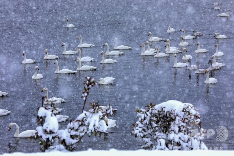 雪の中を滑らかに泳ぐ、幻想的な白鳥 中国