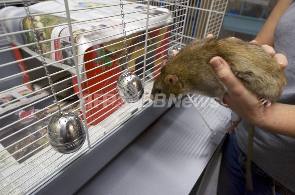 警察犬ならぬ「警察ネズミ」、オランダ警察が採用