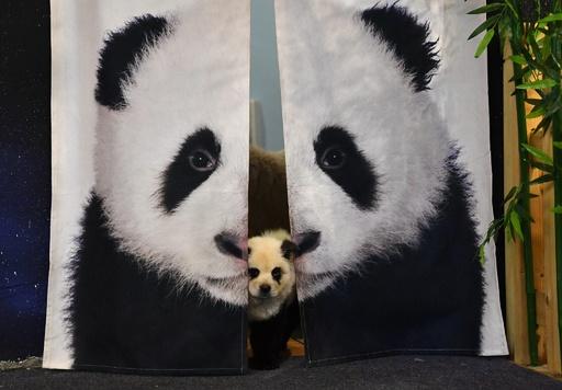 チャウチャウがパンダに大変身!? 中国・成都