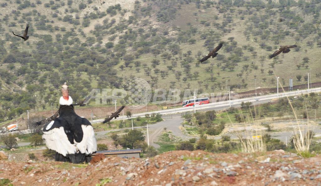 コンドルよ飛んで行け、保護した18羽を放鳥 チリ
