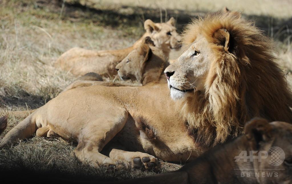 南ア、ライオンが車内に飛び込み米女性かみ殺す