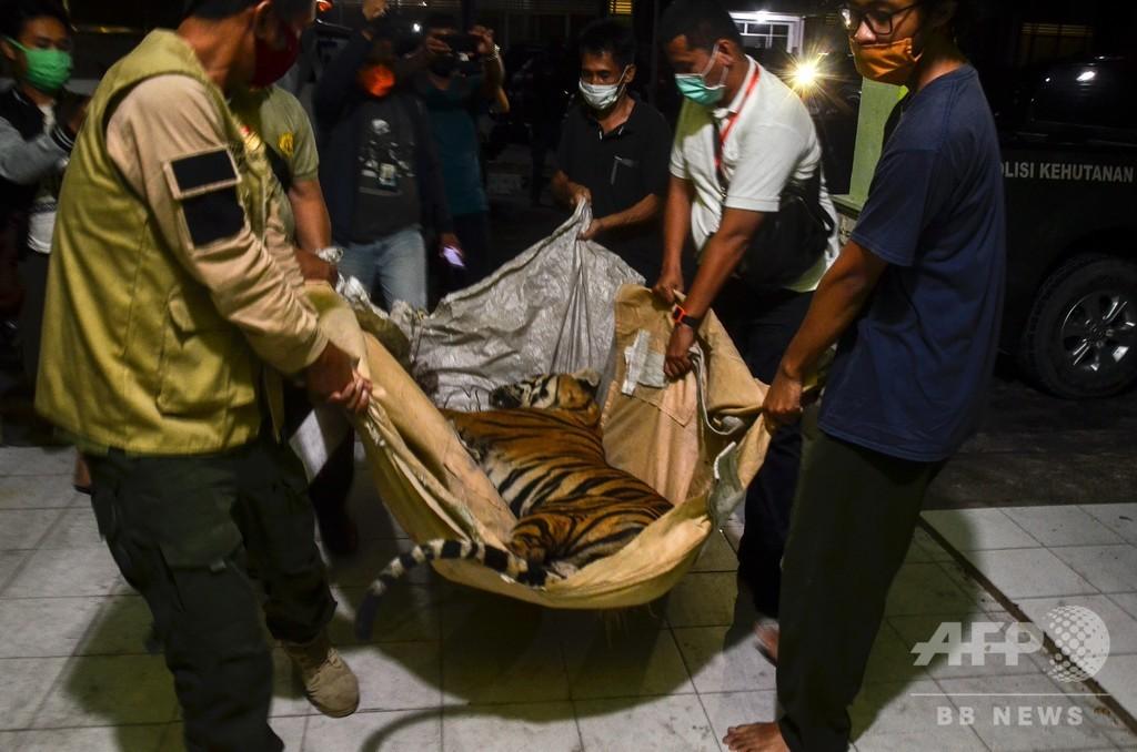 スマトラトラの死骸発見 密猟の犠牲か インドネシア