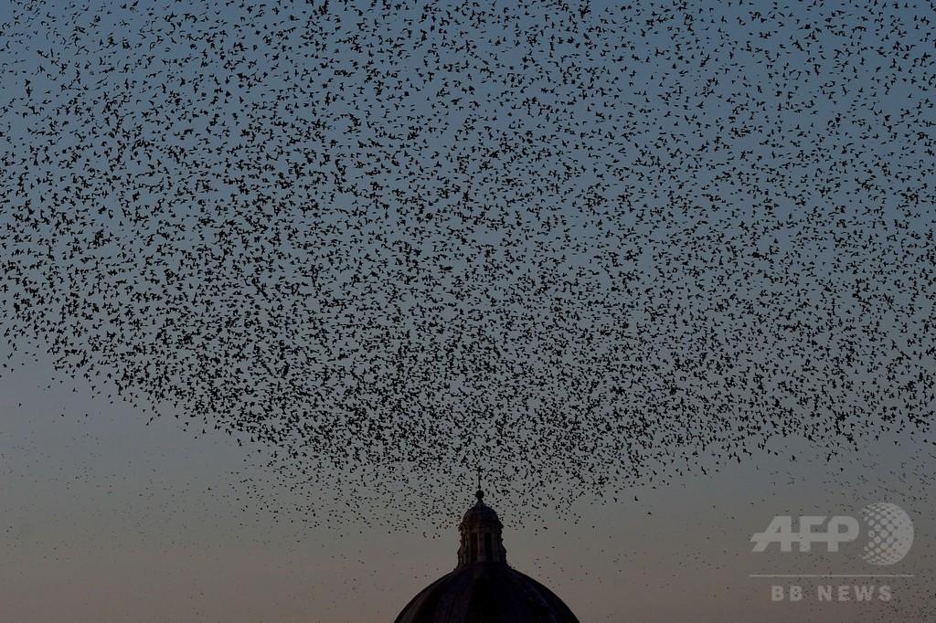 夕暮れの空を旋回するムクドリの群れ、ローマ