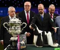 最高賞はアメリカン・コッカー・スパニエル、英ドッグショー「クラフツ」