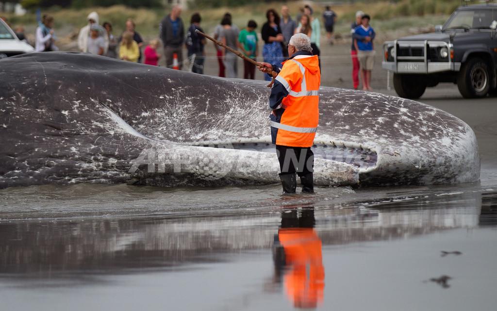 体長15メートルのマッコウクジラ死骸、NZ海岸に漂着