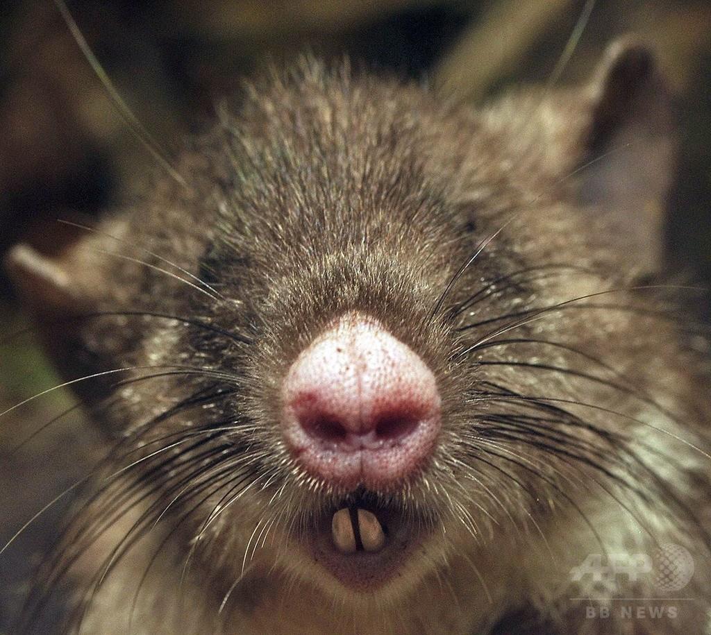 「ブタ鼻」の新種ネズミ、インドネシアで発見