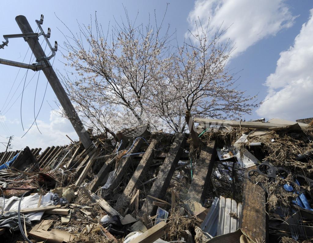 被災した駅に咲く満開の桜、東松島市・東名駅