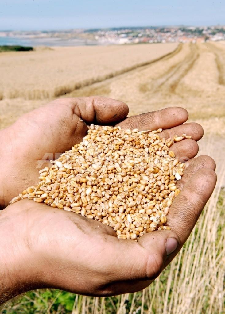 耐塩性の小麦を開発、食糧危機緩和に期待 豪大