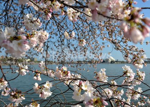 寄贈100年、米ワシントンの桜こそ日本の「ソフトパワー」
