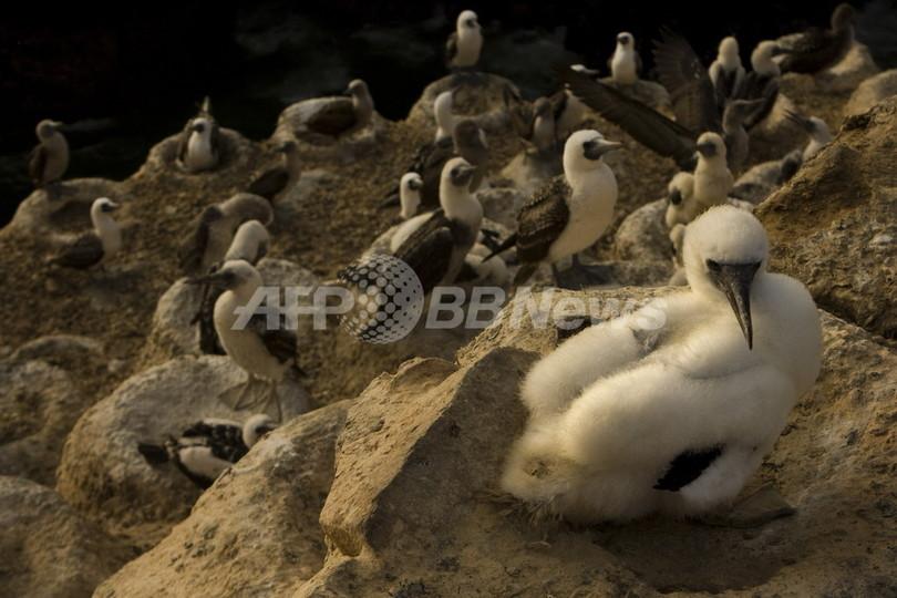 ペルー海岸にペリカンなど600羽の死骸 イルカに続く大量死