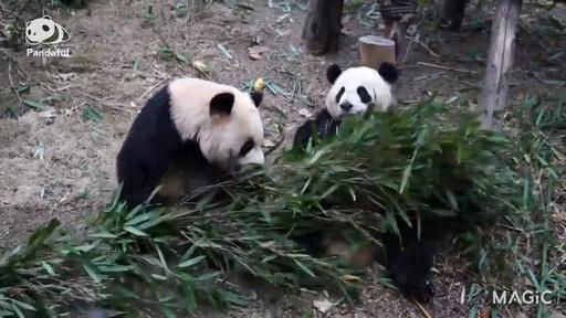 動画:【パンダフル】私にもちょうだい! 一緒に食べよ!