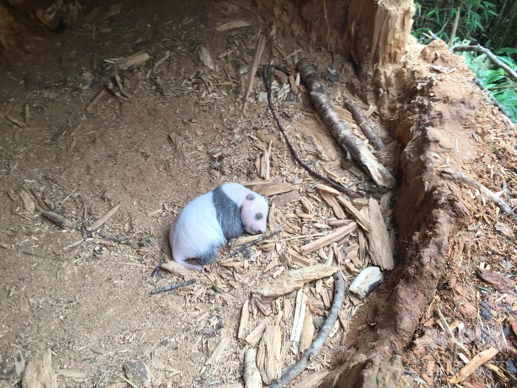 四川省涼山イ族自治州で野生ジャイアントパンダの赤ちゃん発見