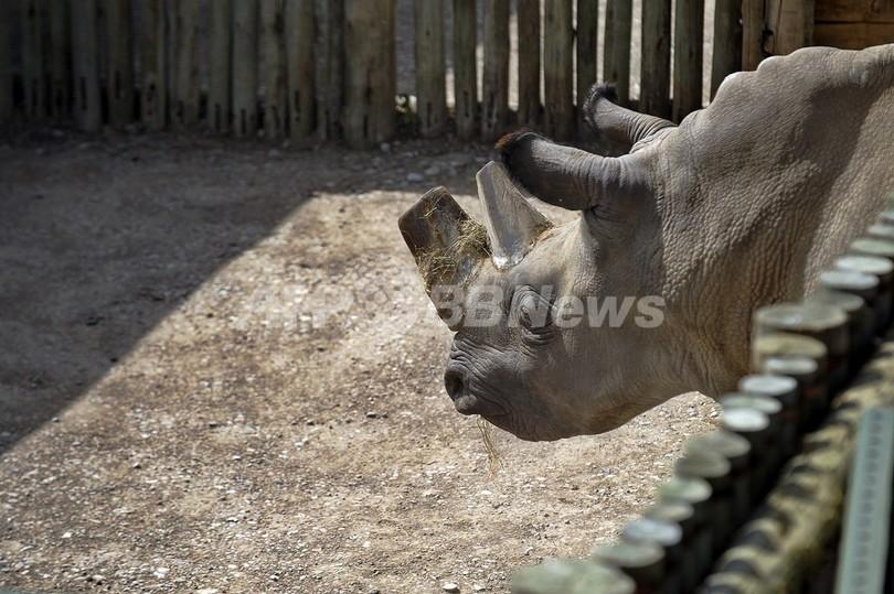 希少なシロサイの角を切断、ケニアの密猟者対策