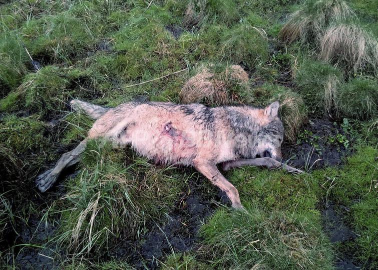 保護対象のオオカミ、銃で撃たれた死骸が見つかる ドイツ