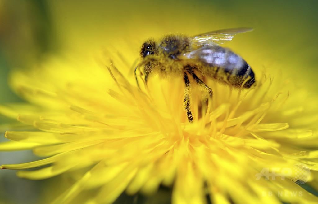 セイヨウミツバチ14個体群のゲノム比較、個体数保護の研究に