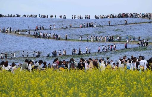 450万本のネモフィラが満開、国営ひたち海浜公園