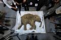 赤ちゃんマンモス「リューバ」の死骸、12日から香港で一般公開