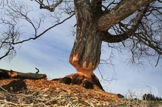 アルゼンチン、ビーバー10万匹を駆除へ 大繁殖で壊滅的被害