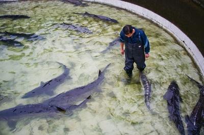 カラチョウザメの繁殖、生育見守る長江水産研究所