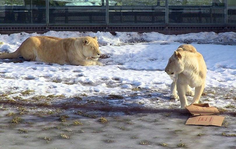 雪の中遊ぶホワイトライオン、冬に慣れたサファリの動物たち カナダ