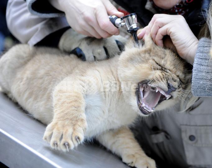 ライオンの赤ちゃん、一気に9匹増えました 独ホーデンハーゲン