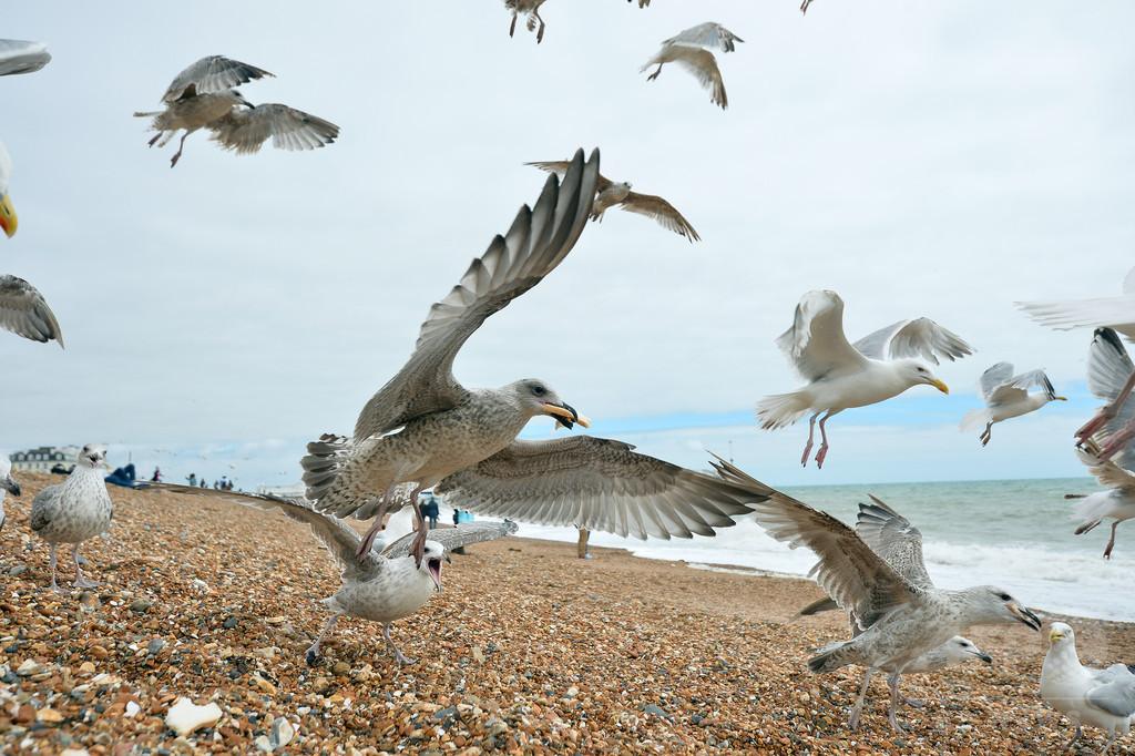 海鳥のプラスチック片体内摂取、2050年までに99% 研究