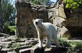 あの人気者「クヌート」も・・・独動物園のシロクマ7割超に精神疾患