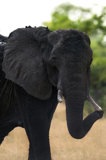 ゾウ使いの男性、ゾウに踏まれて死亡 ジンバブエ