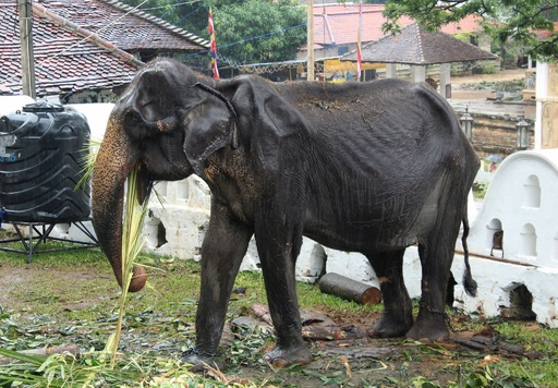 70歳の痩せこけたゾウ死ぬ、パレードに強制出演 スリランカ