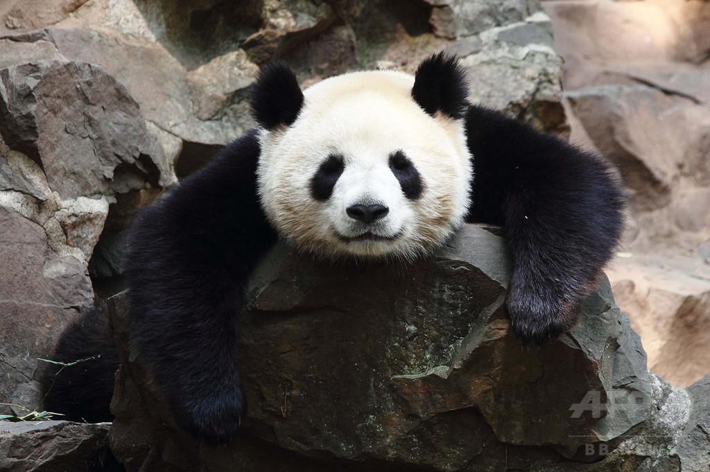 野生のパンダ殺して肉売買、10人拘束 中国