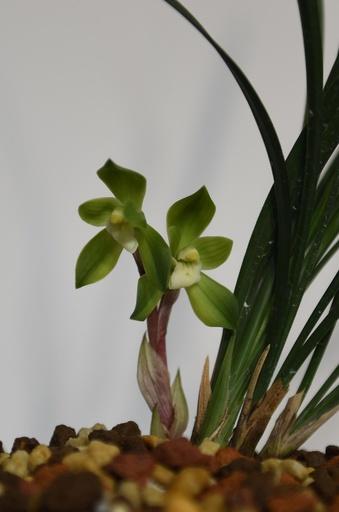 希少な春蘭「赤穀荷素」に2輪の花が咲く 杭州