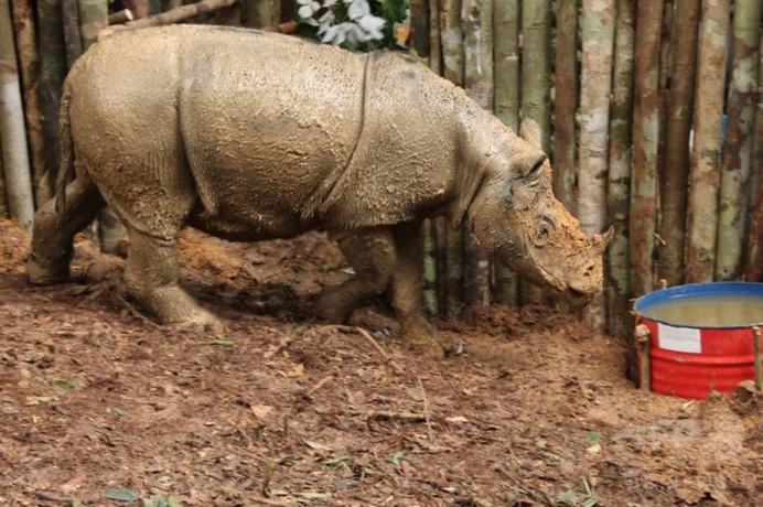 野生のスマトラサイ、40年ぶりに接触 インドネシア