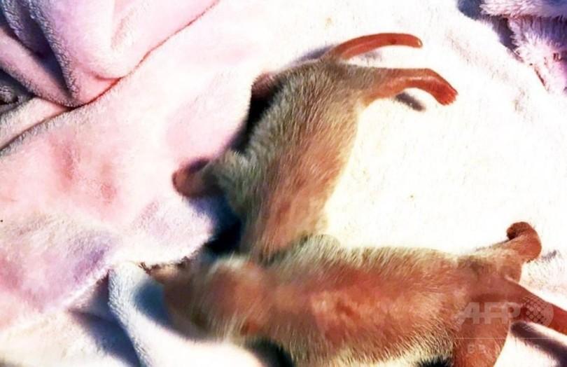 パンダの双子生まれる、成都