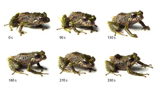 トゲトゲからツルツルに、皮膚の質感変える新種のカエル