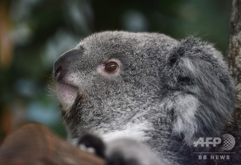 野生コアラ、ゲノム進化で「コアラエイズ」に対抗中 研究