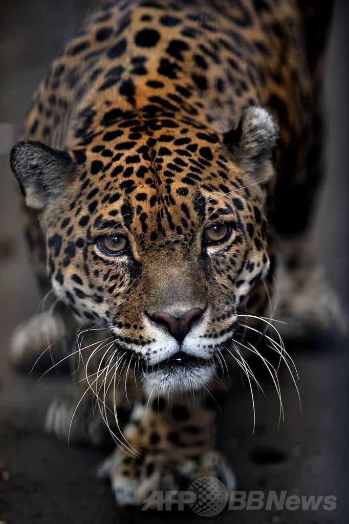 ブラジル、大西洋岸森林でジャガーの個体数が激減