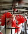 インドの鳥インフルエンザ、養鶏家ら処分反対で拡大懸念