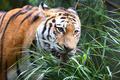 中国、物議を醸したサイとトラ製品の取引解禁を延期