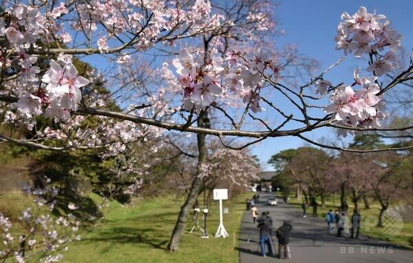 咲き始めの桜にうっとり、皇居・乾通り一般公開
