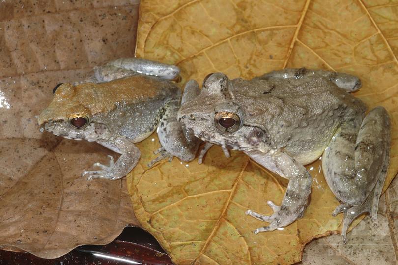 オタマジャクシを産むカエル、インドネシアで世界初の発見