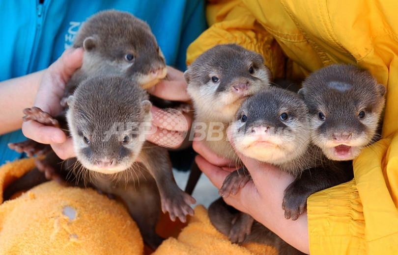 大阪水族館の赤ちゃんカワウソ、5匹が勢ぞろい