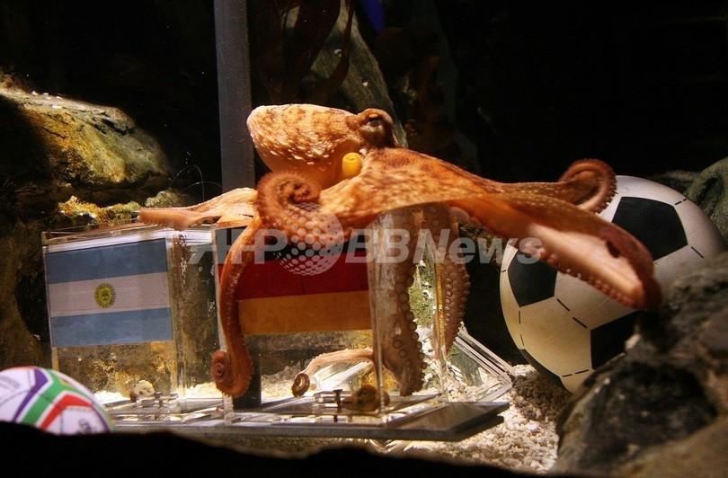 W杯予言的中のタコを「自然に帰せ」、PETAが声明 ドイツ