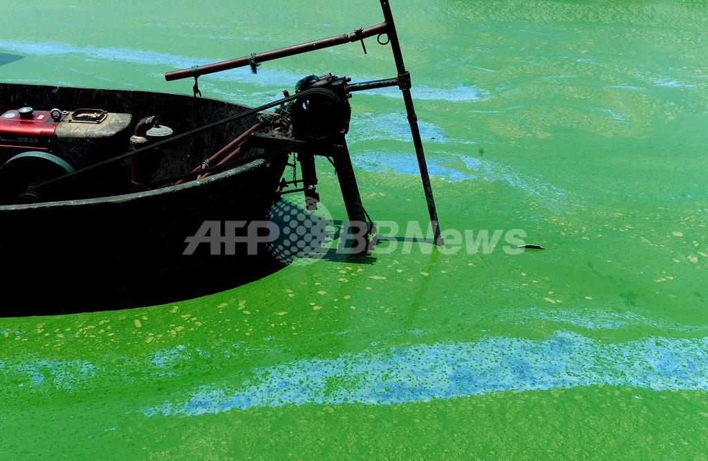中国の淡水湖、今年も藻が大発生