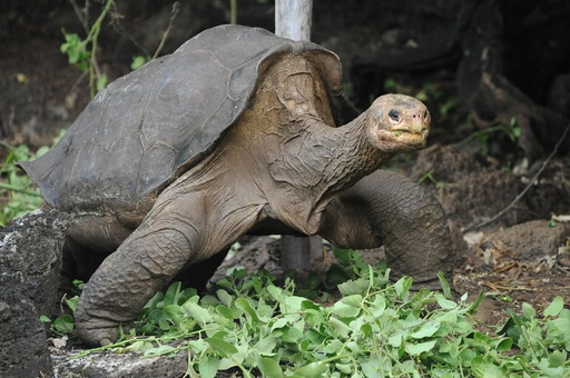ガラパゴス諸島の絶滅ゾウガメ、近縁種を探索へ