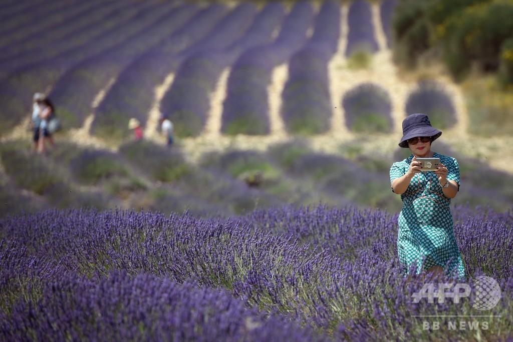 一面のラベンダー畑に多くの観光客、フランス南東