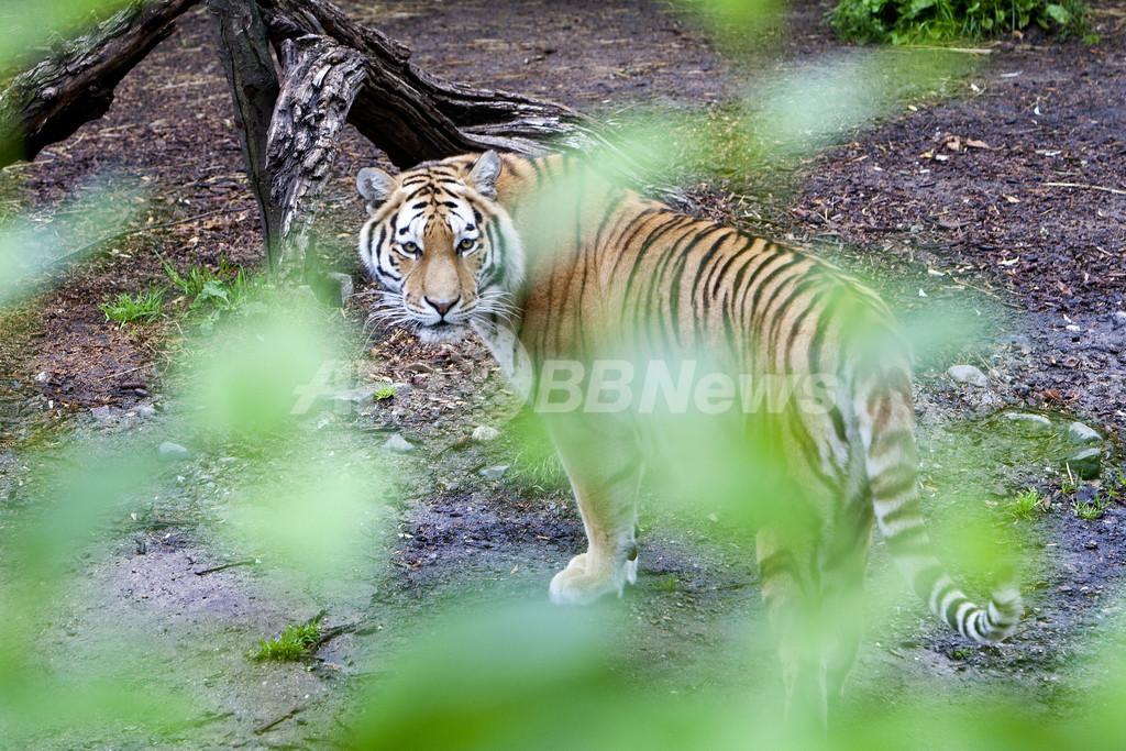 動物園で男性がトラに襲われ死亡、コペンハーゲン