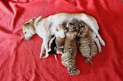 「母」犬に育てられるシベリアトラ、中国・浙江省