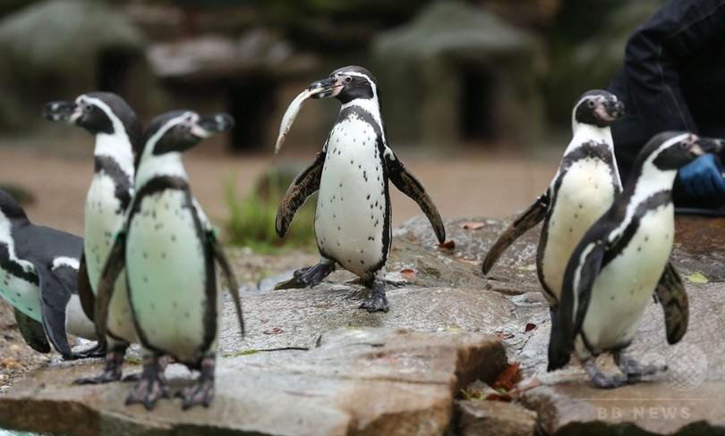 動物園でペンギン不審死、警察が捜査開始 ドイツ